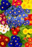 весна primula цветастых цветков свежая Стоковые Фотографии RF