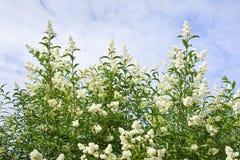 Весна privet кустарника белая blossoming на небе с облаками Ландшафт Стоковое Изображение RF