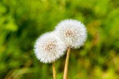 Весна s цветения цветка головы семени одуванчика Blowball белая зеленая Стоковая Фотография