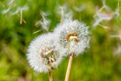 Весна s цветения цветка головы семени одуванчика Blowball белая зеленая Стоковое Изображение RF
