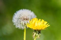 Весна s цветения цветка головы семени одуванчика Blowball белая зеленая Стоковая Фотография RF