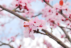 весна sacura Стоковое Фото