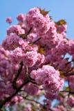 весна sakura предпосылки стоковая фотография rf
