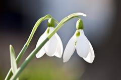 Весна Snowdrops Стоковая Фотография
