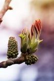 Весной бутонов/бутон грецкого ореха/грецкого ореха Стоковая Фотография