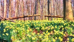 Весной идти лесом покрытым желтыми daffodils сток-видео