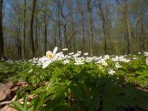 Весной лес, зацветая леса nemoras ветреницы Стоковые Фото