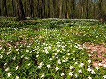 Весной лес, зацветая леса nemoras ветреницы Стоковое фото RF