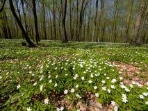 Весной лес, зацветая леса nemoras ветреницы Стоковые Фотографии RF