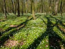 Весной лес, зацветая леса nemoras ветреницы Стоковая Фотография