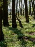 Весной лес, зацветая леса nemoras ветреницы Стоковые Изображения