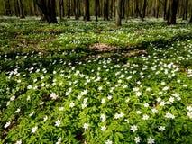 Весной лес, зацветая леса nemoras ветреницы Стоковое Изображение