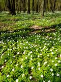 Весной лес, зацветая леса nemoras ветреницы Стоковое Изображение RF
