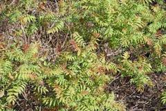 Весны кусте -го предпосылка новых листьев в апреле грязная Стоковые Фотографии RF