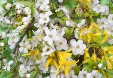 весны сливы Стоковое Изображение RF