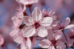 Весны цветка свежесть весны красиво пурпурная в Petrich 2019 стоковое изображение