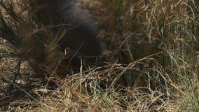 Весьма конец вверх хобота слона по мере того как он питается в запасе игры mara masai видеоматериал