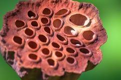 Весьма конец-вверх potw семени лотоса с селективным фокусом стоковая фотография rf