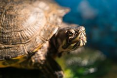 Весьма крупный план головы покрашенного, который выросли picta chrysemys черепахи сидя на утесе греясь около пруда свежей воды стоковая фотография rf