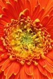 Весьма крупный план (макрос) красивейшего цветка gerbera Стоковое Изображение