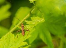 Весьма крупный план коричневого жука на лист Стоковое фото RF