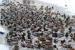 Весьма много уток плавают в замерзая пруде в поисках еды стоковая фотография rf