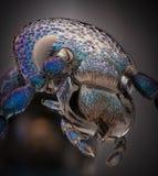 Весьма увеличение - голубая металлическая черепашка, proscarabaeus Meloe стоковое фото rf