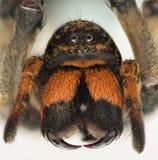 Весьма увеличение - клыки паука волка стоковое изображение rf