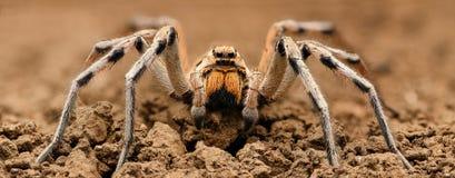 Весьма увеличение - паук волка, полная съемка тела, высокое разрешение Стоковые Фото