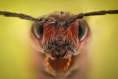 Весьма увеличение - портрет ферзя муравья стоковые изображения rf