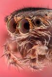 Весьма увеличение - скача портрет паука Стоковое Фото