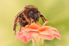 Весьма увеличение - цветок пчелы опыляя Стоковое Изображение