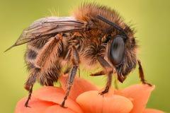Весьма увеличение - цветок пчелы опыляя Стоковые Фото