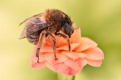 Весьма увеличение - цветок пчелы опыляя Стоковые Изображения RF