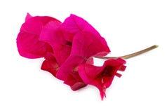 Весьма угловой крупный план розового цветка бугинвилии Стоковое Изображение