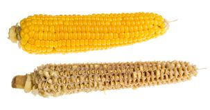 Весь и пустой стержень кукурузного початка Стоковые Изображения RF