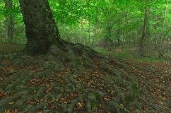 Весь корень системы дерева бука Стоковая Фотография
