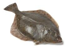Весь одиночный свежий европейский flounder стоковые фото