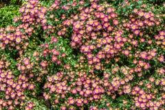 Весь цветок zinnia в саде Стоковые Изображения