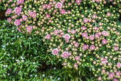 Весь цветок zinnia в саде Стоковая Фотография