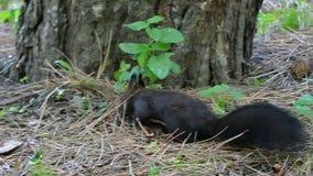 Весёлая еда черной белки ища на лужайке с ржавыми листьями в slo-mo видеоматериал