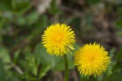 2 весёлых цветения одуванчика вверх закрывают Стоковое фото RF