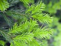 ветвей шиповатое ярк зеленое Стоковые Фотографии RF