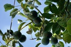 Ветви авокадоов Стоковые Изображения RF