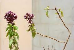 Ветви базилика Стоковые Фото