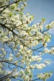 Ветви белых цветков стоковые фото