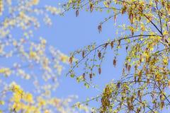 Ветви березы с бутонами Стоковое Фото