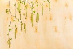 Ветви березы с листьями детенышей и catkins на облицовке березы Стоковая Фотография RF