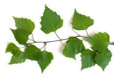 ветви березы Стоковое Изображение