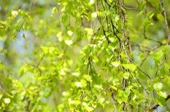 Ветви березы Стоковое Изображение RF